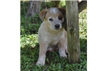 Picture of Red Heeler Male