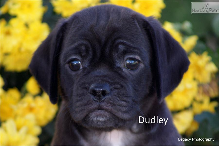 Puggle Dog Black