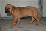 Picture of Blond Beauty! AKC microchipped female