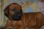 Picture of African beauty! AKC microchipped female