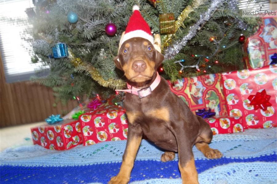 Doberman Dogs For Sale In Missouri