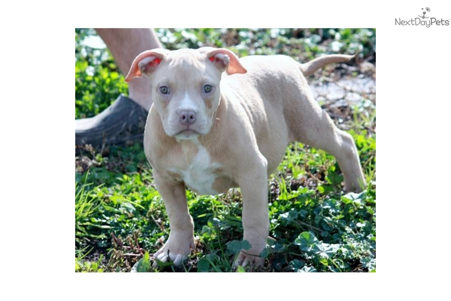 Razor's EDGE Pitbull Terrier male Puppy