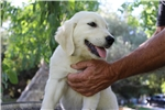 Picture of AKC English Golden - Male