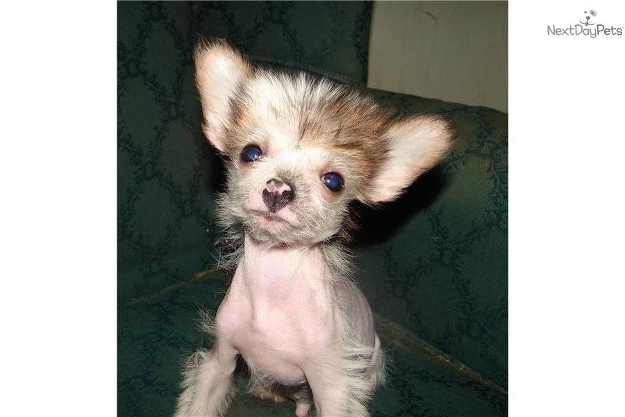 True hairless chinese crested