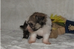 Picture of teddy-tiny powderpuff male