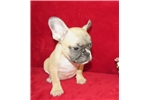 Picture of AKC FAWN WITH BLACK MASK GREYSON
