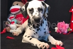 Hadlee | Puppy at 15 weeks of age for sale