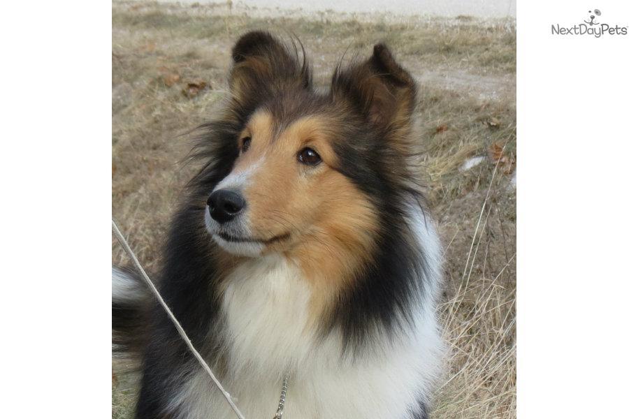 Meet Kharma a cute Shetland Sheepdog - Sheltie puppy for sale for $600 ...