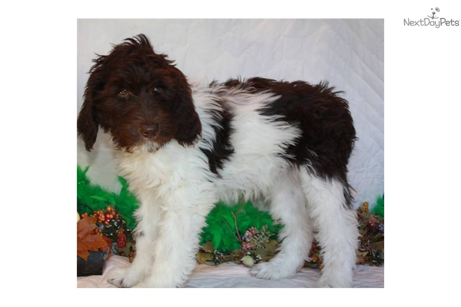 labradoodle puppy for adoption near 93506021 b372