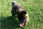 Picture of Champion pedigree's Akita puppy female  Legend