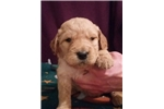 Picture of F1 Goldendoodles boy