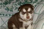 Picture of AKC Champion line Siberian Husky