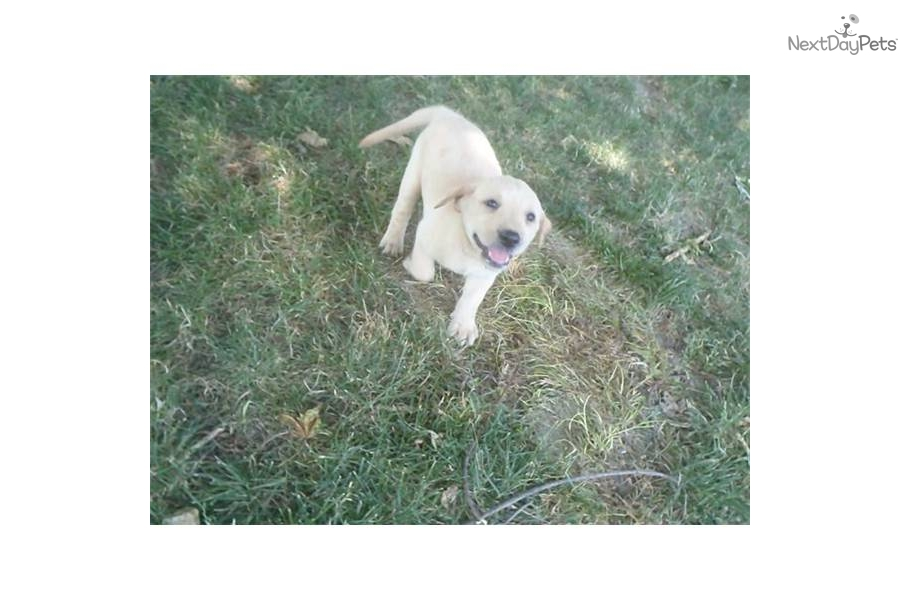 Chocolate Lab Puppies For Sale In Chicago Il