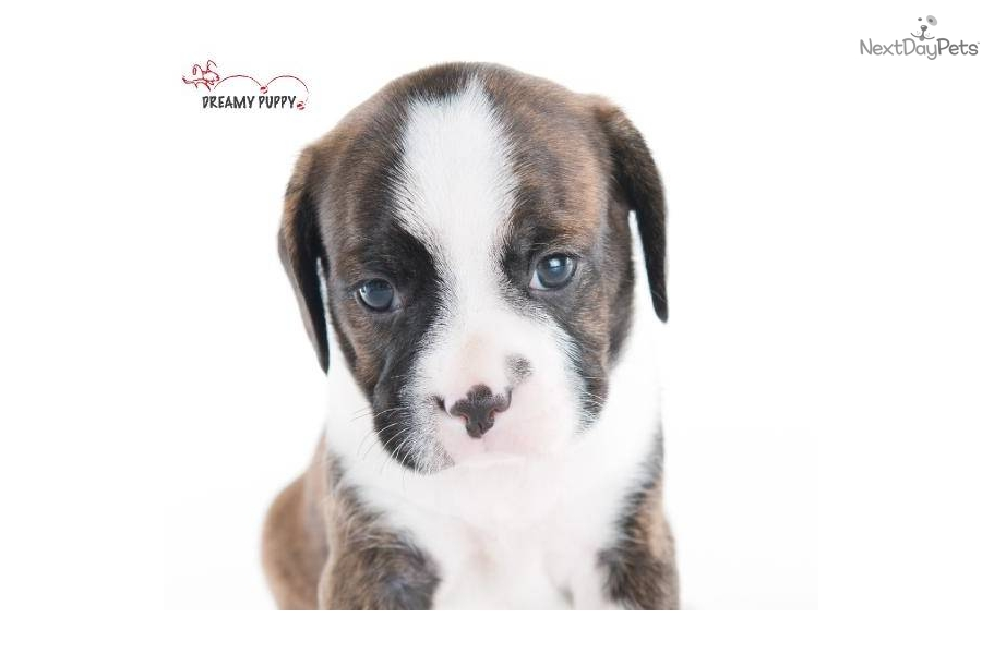 Boston Terrier Puppy Adorable Miniature Boxer (Boston/Cavalier) Male