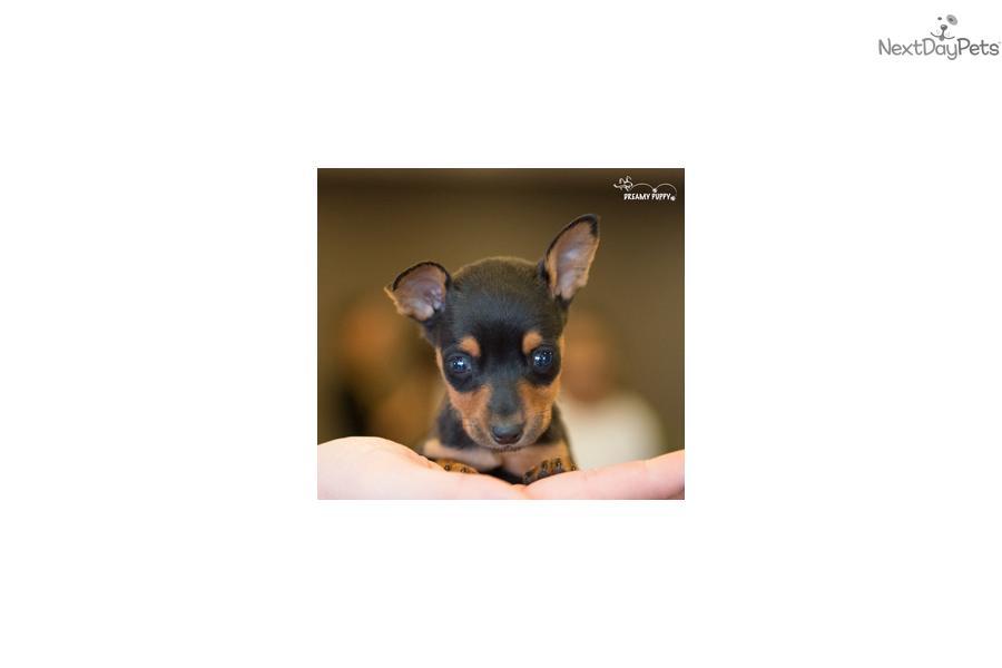 pin miniature pinscher pup - photo #46