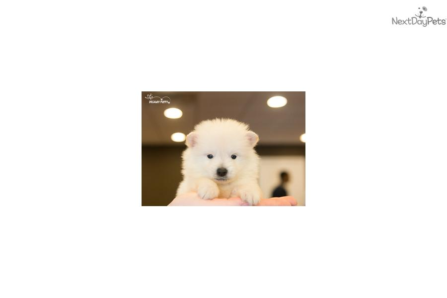 Meet Male a cute Poma-Poo - Pomapoo puppy for sale for ...