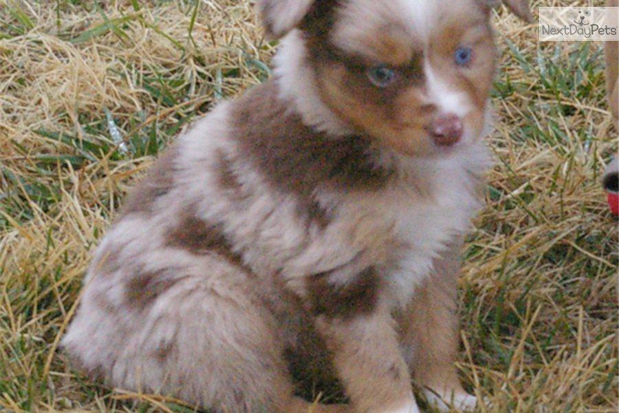 Miniature australian shepherd puppy for sale near fayetteville