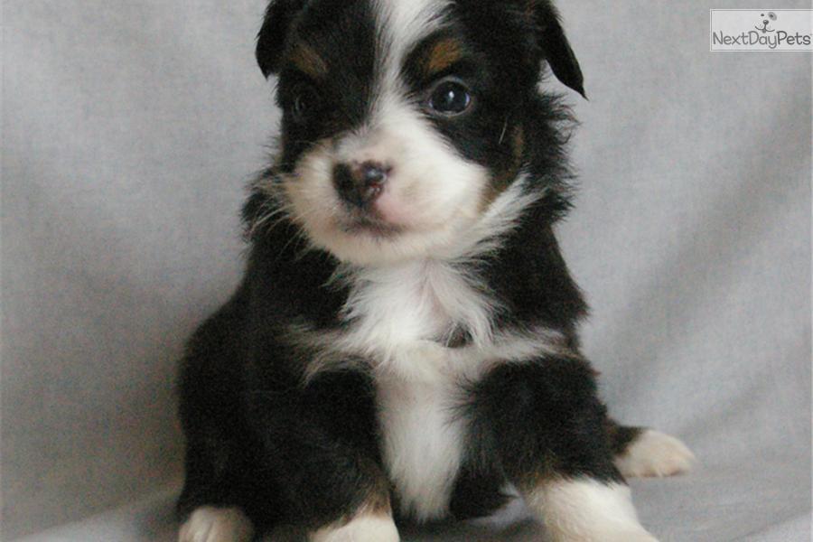 Meet Pearl a cute Miniature Australian Shepherd puppy for sale for $