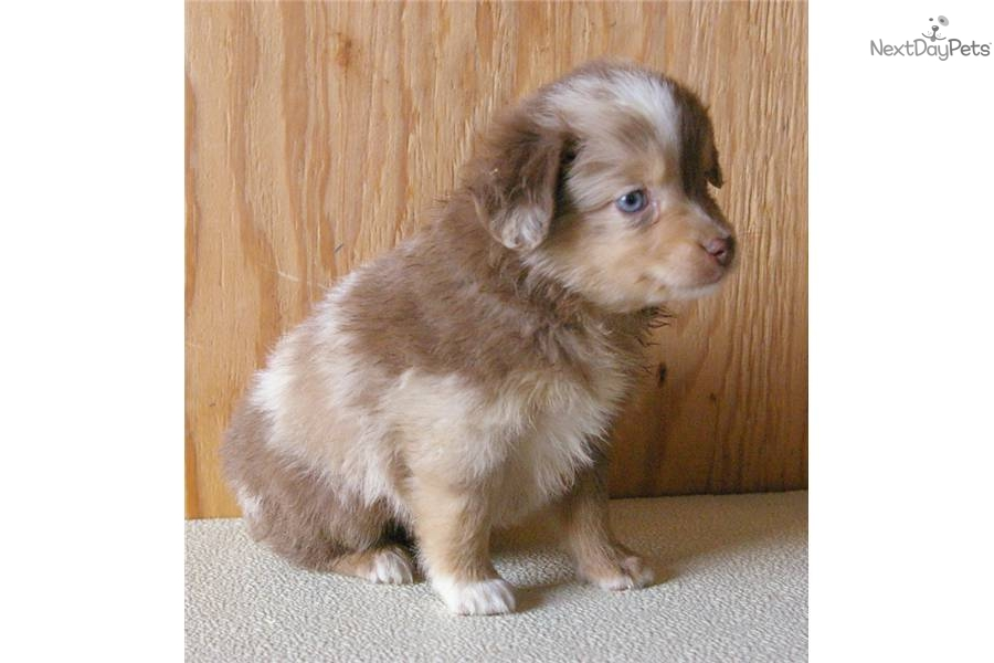 Meet cash a cute miniature australian shepherd puppy for sale for 600