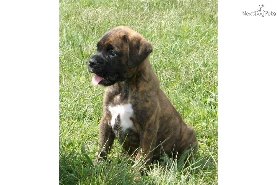 Reverse Brindle Boxer Puppies for Sale