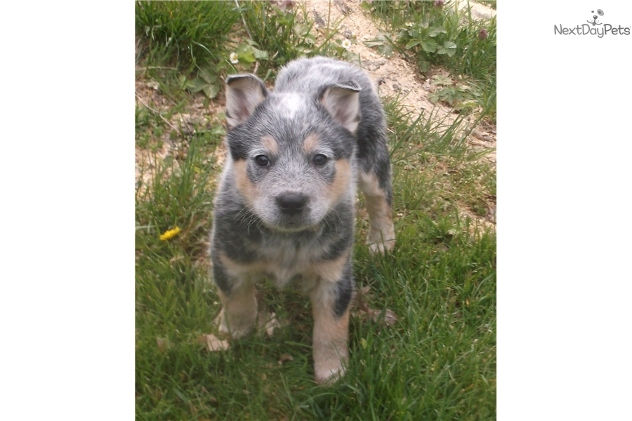 Australian Cattle Dog For Sale In Michigan