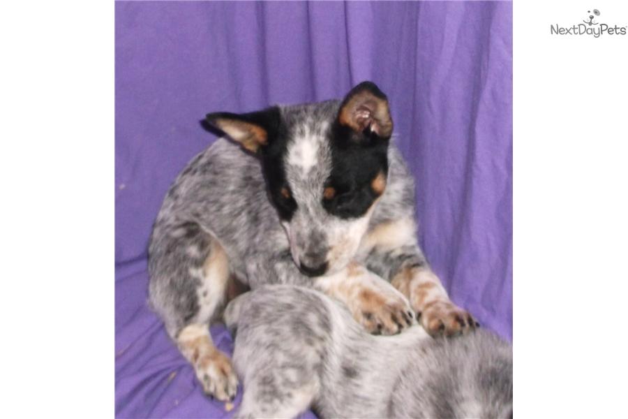 Heeler Puppy  Pictures      Blue Heeler Newborn Puppies