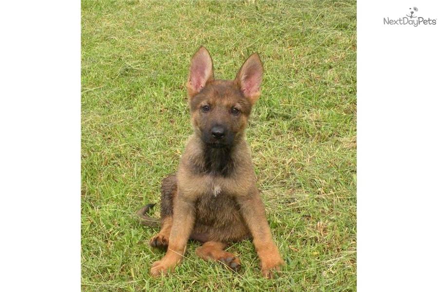 Sable German Shepherd Puppies for Sale 2017 Litters
