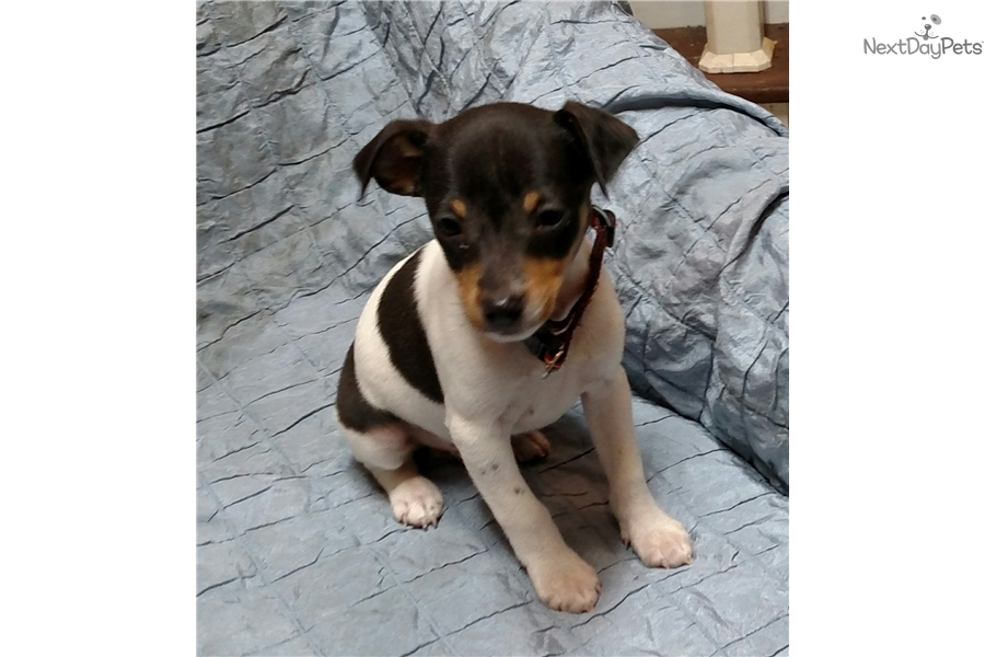 Rat Terrier Dog For Sale In Michigan