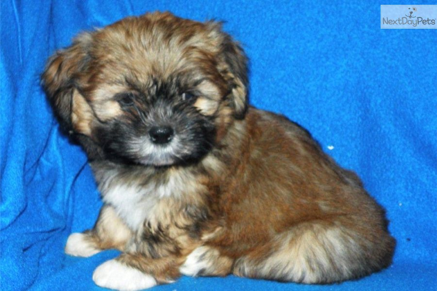 meet tonka toy a cute shih-poo