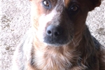 Picture of Red Rover SEE Video Red Heeler
