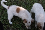 Picture of Sprite - SEE Video Red Heeler