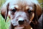 Cesky Terrier for sale