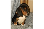 Picture of Purebred Clyde male