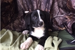 Picture of Comet ! border collie, first shot and deworming