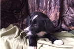 Picture of Blitzen ! border collie, first shot and deworming