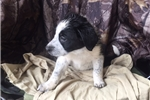 Picture of Donner ! border collie, first shot and deworming