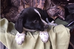 Picture of Dasher ! border collie, first shot and deworming