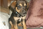 Picture of Rummer girl- Born April's fools day Mix w/ Beagle