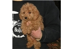 Picture of a Cesky Terrier Puppy