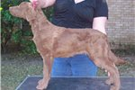 Picture of a Chesapeake Bay Retriever Puppy