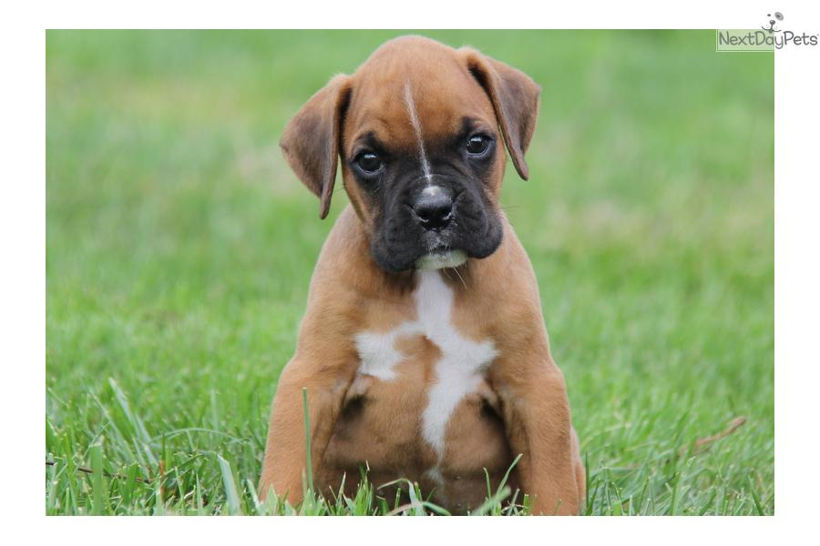 Www Boxer Dogs For Sale In Pennsylvinia