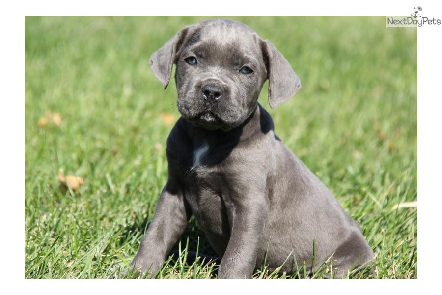 Meet Patch a cute Cane Corso Mastiff puppy for sale for