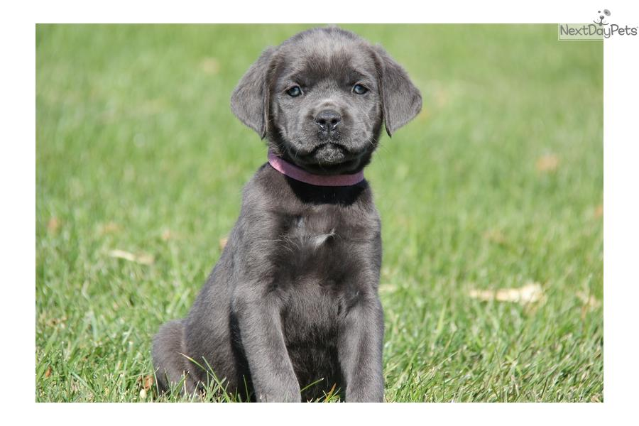 ... cute Cane Corso Mastiff puppy for sale for $900. Taffy / Cane Corso