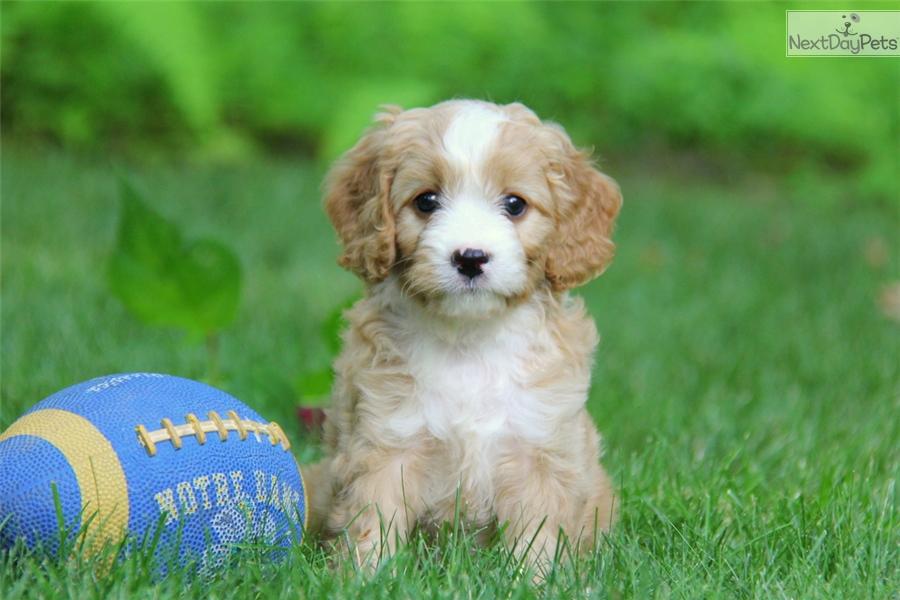 cavapoo puppy for sale near lancaster pennsylvania