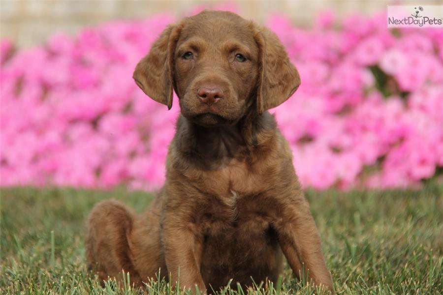 chesapeake bay retriever puppy for sale near lancaster