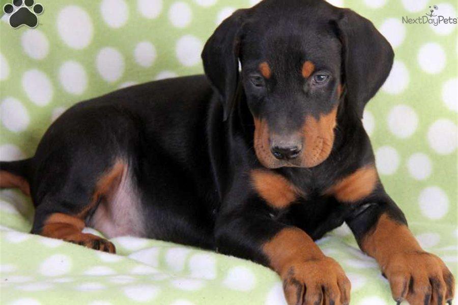 Doberman Pinscher Puppy Images Doberman Pinscher Puppies