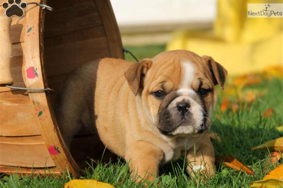 French Bulldog Breeders In Lancaster Pa Image | Dog Breeds Picture