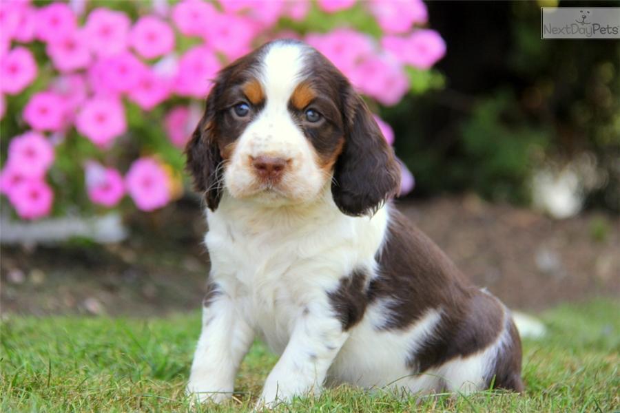 English spaniel puppies