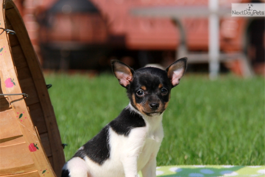 Tina  Fox Terrier Mix Puppy For Sale in Pennsylvania