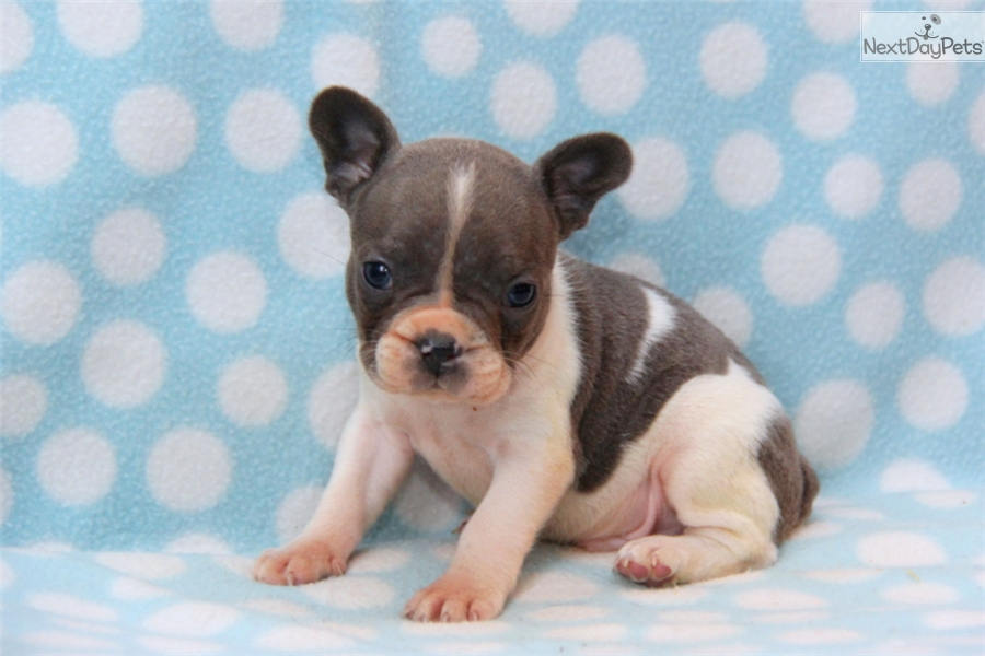 French Bulldog Breeders In Lancaster Pa Hdjpg | Dog Breeds Picture
